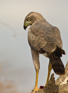 Free Close-up Of An Eastern Chanting-goshawk Stock Image - 16281401