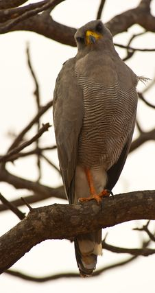 Free An Adult Eastern Chanting-Goshawk Resting Royalty Free Stock Image - 16281486