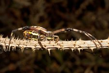 Wasp Spider / Argiope Bruennichi Royalty Free Stock Photography