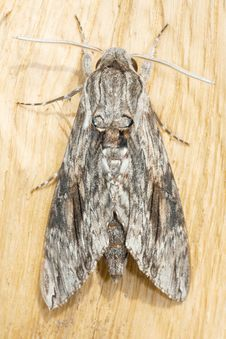 Agrius Convolvuli / Convolvulus Hawk-moth Royalty Free Stock Images