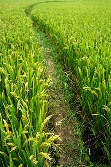 Free Rice Paddy In Autumn Stock Images - 16282794