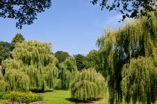Free Weeping Willows Royalty Free Stock Images - 16282889