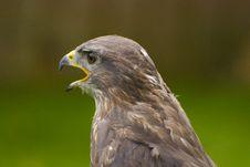 Free Falcon Stock Photo - 16283040