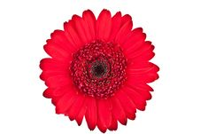 Free Perfect Red Gerbera Royalty Free Stock Photography - 16283277