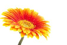 Free Perfect Orange Gerbera Stock Photos - 16283293