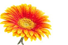 Free Perfect Orange Gerbera Royalty Free Stock Image - 16283326