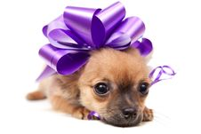 Free Chihuahua Puppy Royalty Free Stock Image - 16283416