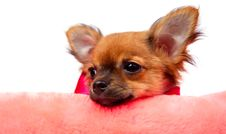Free Chihuahua Puppy Royalty Free Stock Photography - 16283417