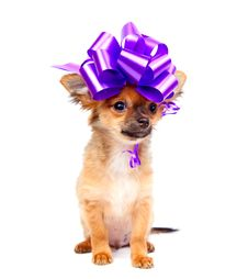 Free Chihuahua Puppy Royalty Free Stock Photos - 16283418