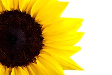 Free Perfect Sunflower Royalty Free Stock Photography - 16283527