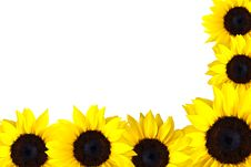 Free Perfect Sunflowers Stock Photos - 16283533