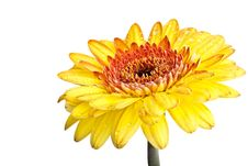 Free Yellow Gerber Daisy Royalty Free Stock Images - 16283609