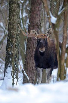 Free Elk Royalty Free Stock Photography - 16283647