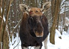 Free Elk Stock Image - 16283851