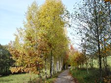 Free  Birch Avenue  In The Autumn Stock Photos - 16284343