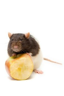 Free Home Rat With Yellow Apple Royalty Free Stock Images - 16286409