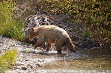Blonde Brown Bear 2 Stock Image