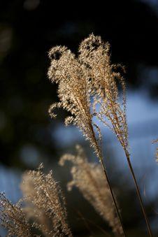 Free Garden Pampas Grass Close Up Stock Photos - 16286893