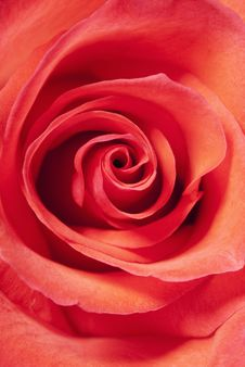 Free Bud Of A Rose Close Up Stock Images - 16286914