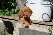 Free Magyar Vizsla Puppy Stock Image - 16286951
