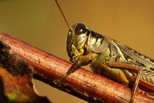 Free Differential Grasshopper Royalty Free Stock Photography - 16286957