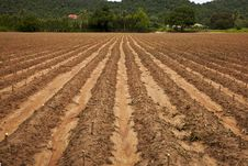 Free Cassava Field Royalty Free Stock Photography - 16287107
