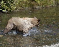 Blonde Brown Bear 24 Hunting Royalty Free Stock Photography