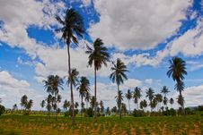 Free Coconut Trees Royalty Free Stock Image - 16287366