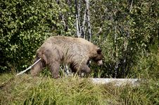 Blonde Brown Bear 41 Hunting Stock Images