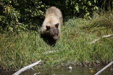 Blonde Brown Bear 42 Hunting Royalty Free Stock Image