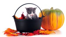 Free Holloween Kitten Stock Image - 16287801