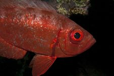 Free Big Eye Fish In The Red Sea Royalty Free Stock Photos - 16288548