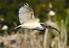 Free Sacred Ibis In Flight Royalty Free Stock Photo - 16289805