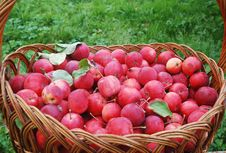 Free Basket Of Apples Stock Photography - 16291512