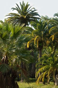 Palm Tree In Subtropics. Royalty Free Stock Image