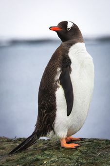 Free Penguin On The Rock Royalty Free Stock Image - 16292926