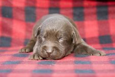 Free Newborn Brown Labrador Puppy Stock Image - 16293601