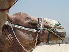 Free Camel Head Stock Image - 16294341