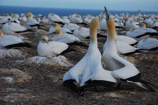 Free The Gannet Colony Royalty Free Stock Photos - 16294378