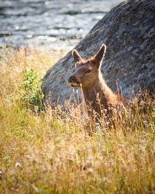 Free Calf Elk Royalty Free Stock Images - 16294619