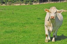 Free Young Cow In A Meadow Stock Image - 16296061