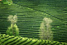 Free Pattern Of Tea Plantation Royalty Free Stock Photos - 16296168