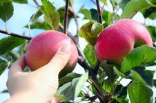 Free Apples On Tree Royalty Free Stock Photo - 16296905