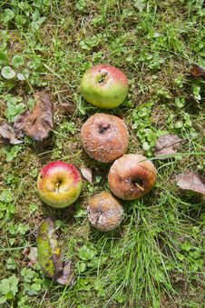 Rotten Apples On The Ground Stock Images