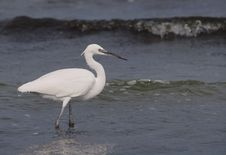Free Little Egret Royalty Free Stock Image - 16297556