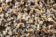 Free Dried Razor Clams. Stock Photography - 16298122