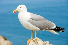 Free Seagull Royalty Free Stock Image - 16298246