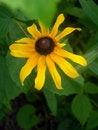 Free Black-eyed Susan Bloom Stock Photo - 1632730