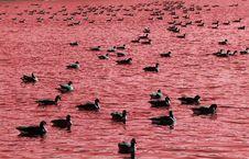 Ducks Lake Royalty Free Stock Image