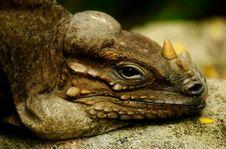 Free Iguana Stock Photo - 1630720